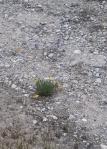 Garland rockbed poppy lupine