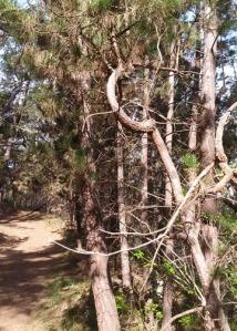 Jacks Peak Monterey Pine circle