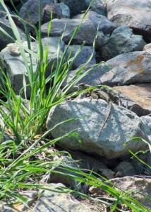 Lizard at Reservoir Hill