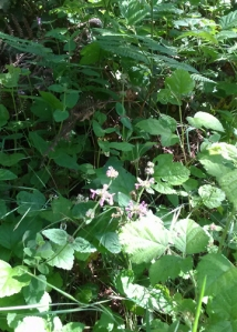 Blooming Hedge Nettles