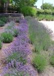Matanzas lavender varieties