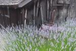 Matanzas lavender shed