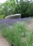 Matanzas white lavender