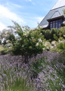 Coppola Lavender