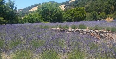 uphill lavender
