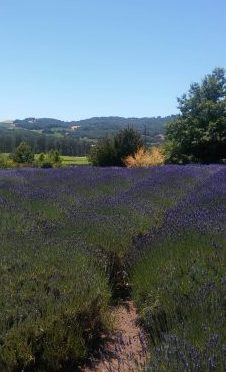 downhill lavender