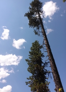 Waldo Lake tree