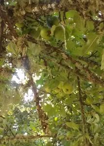 Fern Ridge Peninsula apples
