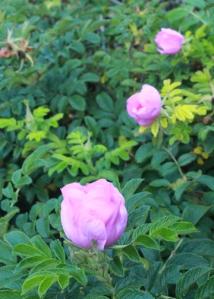 Roses at Heceta Head