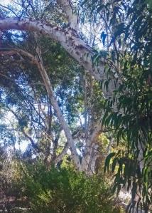 ghost eucalyptus