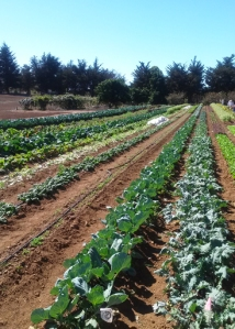 UCSC vegetable rows