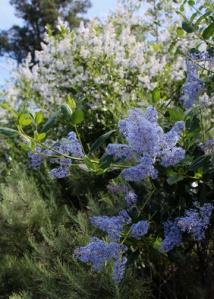Botanic lilac