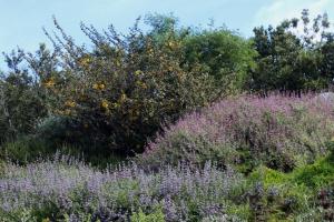 Botanic lupines fremontia