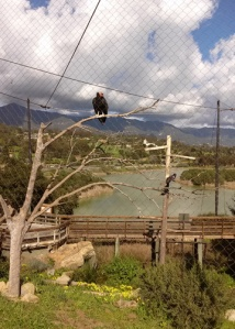 CA condor