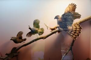 History hawk on quail