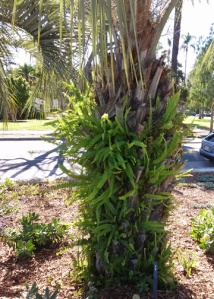 Keck palm with fern