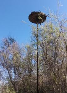 Osprey perch above salt marsh