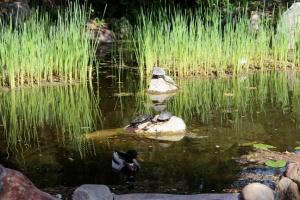 Turtles and Mallard