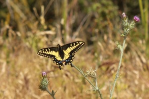 Butterfly 2164
