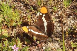 Butterfly m 2078