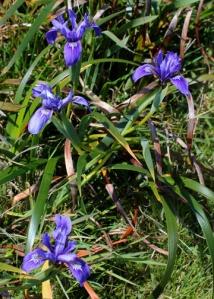 coastal iris