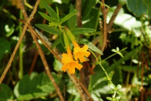 Monkeyflower m 2106