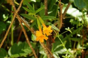 Monkeyflower m 2106