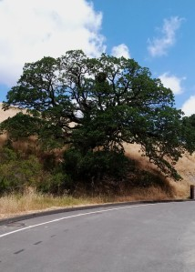 more oak