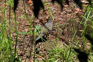 quail in camo