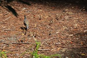 quail in open 13