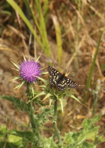 Thistle butterfly m 2159