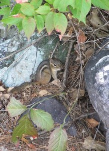 ground squirrel IMG_3988