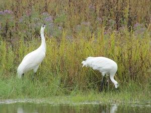 closeup whooping crane couple