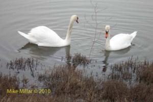 Swans at Shollenberger