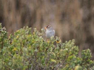 sparrow coyote bush