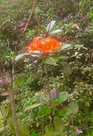 Kula flower