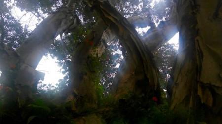 Kula paper tree