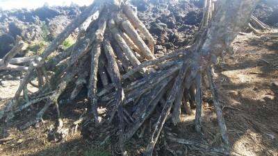 Hala trees