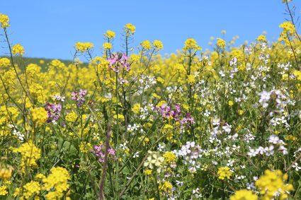 mustard radish Kehoe m IMG_2529