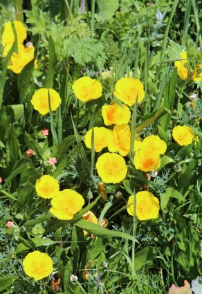 poppies Kehoe m IMG_2535