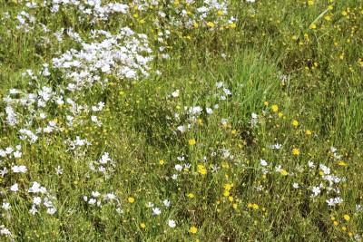 meadow foam m
