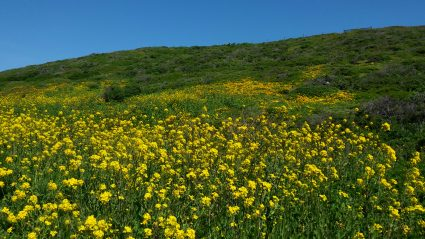 Poppies over mustard l