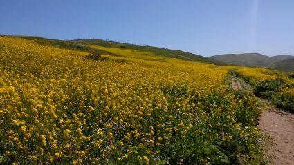 Mustard at Kehoe Beach trail l