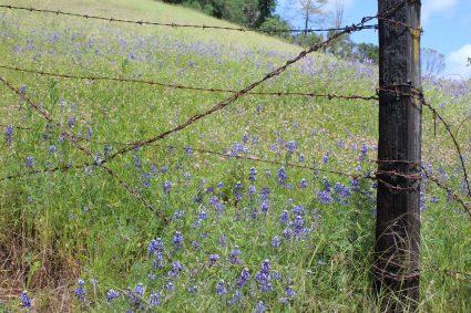 lupine meadow m