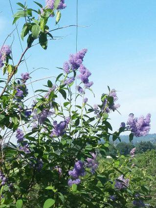 m Lilac Mt Pisgah